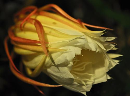 Epiphyllum oxypetalum 08-23-10 2112