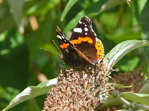 22280 - Red Admiral Butterfly