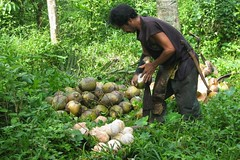 13 - Husking the Coconut . . . (clive_morrisau - Home Is Where The Heart is . . .) Tags: canon philippines powershot bunch spike batangas husk coconuts cuenca bamboopole ibabao sx20is curvedknife