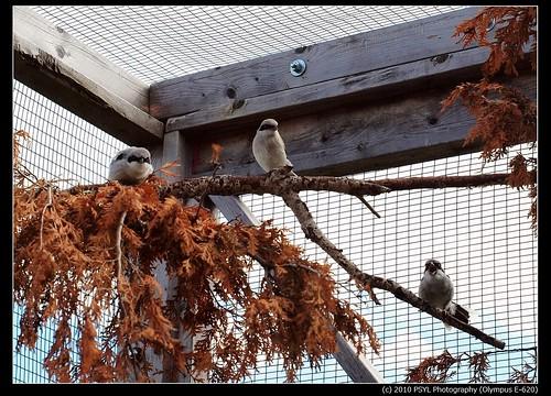 Eastern Loggerhead Shrike (Lanius  ludovicianus migrans) family