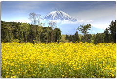 Enjoy your life today because yesterday had gone and tomorrow may never come (YYZDez) Tags: plants flower field japan tokyo asia mountfuji fujisan  mustardfield mtfuji canola fujiyama rapeseed brassicaceae oilseed nanohana   rapeseedfield  canolafield  vegetableflower mountfujiyama   nanohanafield