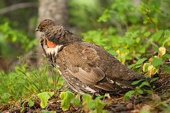 "Franklin's Spruce Grouse - 3 of 4 (IronRodArt - Royce Bair (""Star Shooter"")) Tags: show wild game male bird nature pine forest court outside franklin wildlife air feather grouse inflatable drumming fowl fools spruce lek courting upland sacs canadensis vocalization specanimal falcipennis franklinii"