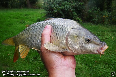 Common Carp - Cyprinus carpio