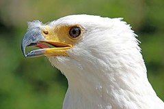 FIMG_1422 (Alfred Koppel) Tags: bird adler vogel mywinners platinumphoto colorphotoaward weiskopfseeadler natureselegantshots