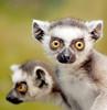 Ring tailed lemur (floridapfe) Tags: hello animal zoo nikon korea ring lemur hi tailed everland ringtailedlemur 에버랜드 platinumphoto