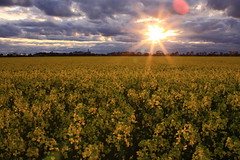 Canola Field /  (kth517) Tags: australia melbourne victoria canola   pointcook canolafield