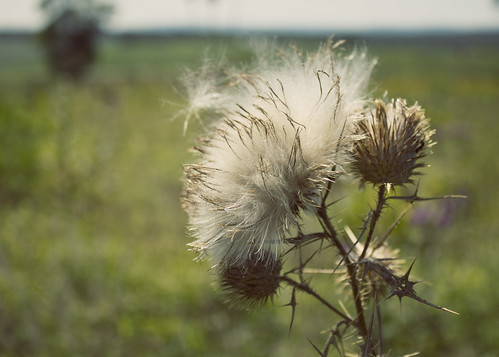 thistle_down