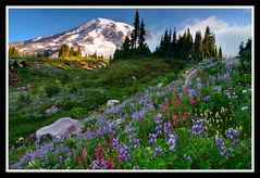 Better Late Than Never (Michael Bollino) Tags: flowers mountain nature sunrise volcano washington nikon paradise alpine mountrainier rainier bloom finally inbloom