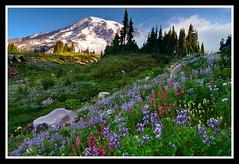 Better Late Than Never (Michael Bollino) Tags: flowers mountain nature sunrise volcano washington nikon paradise alpine mountrainier rainier bloom finally inbloom