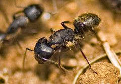 Messor aciculatus / Camponotus japonicus (?) (aeschylus18917) Tags: macro nature japan insect nikon g ant micro ants 日本 nikkor f28 vr pxt 105mm hymenoptera アリ insecta 甲虫 carpenterant 105mmf28 apocrita formicidae camponotus 105mmf28gvrmicro myrmicinae formicinae vespoidea d700 nikkor105mmf28gvrmicro クロオオアリ ダニエル 兜虫 nikond700 camponotusjaponicus danielruyle aeschylus18917 danruyle druyle ルール ダニエルルール クロナガアリ messoraciculatus