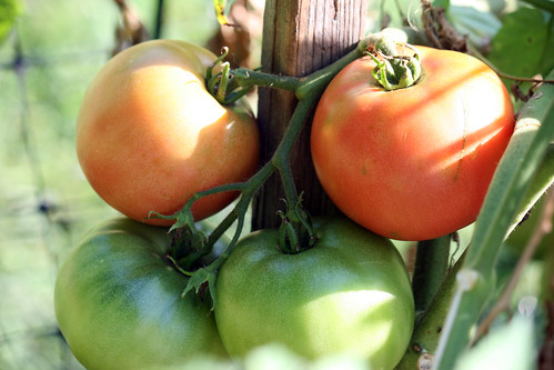 tomatoes on the vine 3