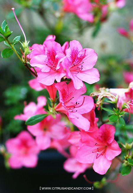 Spring Flower CC