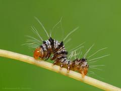 Caterpillar (Rundstedt B. Rovillos) Tags: macro insect caterpillar reverselens macrophotography lamesaecopark nikond200 nikkor1855mm reverselensadapter nikonsb400 diyflashdiffuser notyournormalbug rundstedtbrovillos kentuckyfriedchickenplasticbucketlid diykfcflashdiffuser onehandmacroshootmethod kfcdiffuser