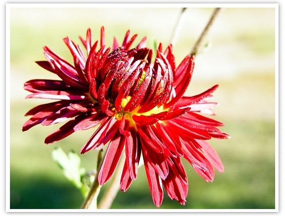 crizantema1-sh