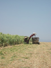 Sugar cane harvesting in Sullana, Peru