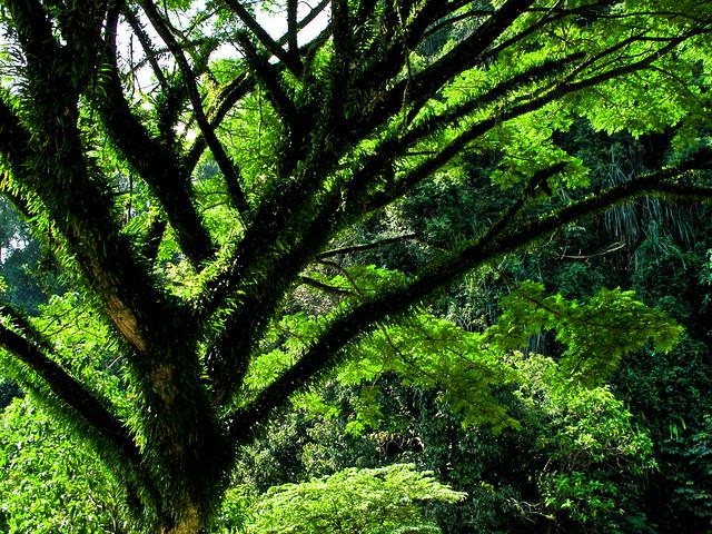 IMG_0216  Rain tree , Gunung Lang , Ipoh