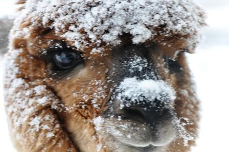 Colt alpaca in winter with snow