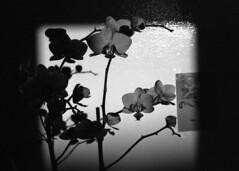 Melting shadows and darkness (Le Prussiate Rouge) Tags: shadow black orchid flower film fleur analog darkroom noir ombre et blanc argentique orchidée wite argentic