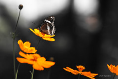 butterflies and flowers #5 (e.nhan) Tags: flowers light flower art closeup colorful dof bokeh butterflies cosmos backlighting enhan