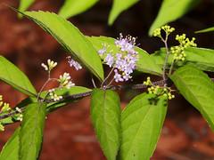 American Beautyberry Callicarpa americana_5840 (Alice & Seig) Tags: flickr va williamsburgarea 4021 plants vanative lavender asteridae lamiales verbenaverbenaceae williamsburg virginia unitedstates