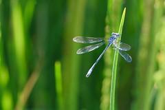 Damselfly (Jori209) Tags: damselfly dragonfly alberta bluet boreal insect insectsofalberta canada blue colour canon canonrebel grass summer kneehillcounty linden sunnyslope bug