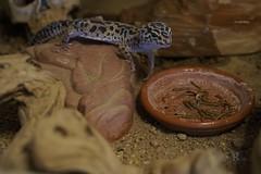 20170626X1906_Leopardgecko_0021 (RascheBilder) Tags: leopardgecko raschebilder