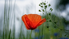 Like A Flickering Flame (Alfred Grupstra) Tags: nature plant flower poppy red beautyinnature leaf summer field outdoors petal season flowerhead greencolor meadow yellow springtime blossom backgrounds sky