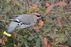 HNS_1099 Pestvogel : Jaseur boreal : Bombycilla garrulus : Seidenschwanz : Bohemian Waxwing
