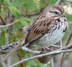 Song Sparrow (ctberney) Tags: songsparrow melospizamelodia bird singer nature