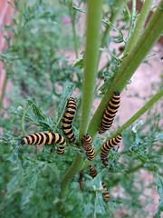Cinnabar Moth caterpillars on Ragwort. (Sharon B Mott) Tags: cinnabarmoth caterpillars moth larvae nature ragwort plant wildflowers britishwildlife wildlife insects july summer stripes