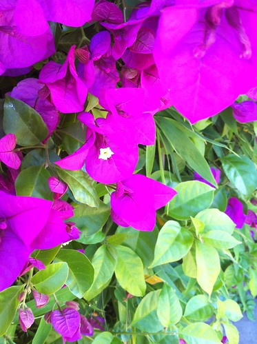 Bougainvillea shot with an iPhone 4