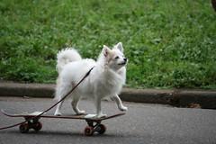 Skateboarding Dog in Yoyogi-koen (sleepyhead's) Tags: park dog japan tokyo skateboarding harajuku skateboard nippon 東京 nihon yoyogipark yoyogikoen 東京都 日本国 nihonkoku nipponkoku skateboardingdog 日本國