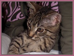 """Keks"" (Peleal) Tags: cat keks katze kedi ocicat"