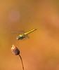 dragonfly in flight (aziouezmazouz) Tags: friends macro beauty insect amazing colours bokeh flight creative cutie moment beautifulscenery bellissima vibrantcolours beautifulcapture