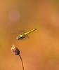 dragonfly in flight (aziouezmazouz) Tags: friends macro beauty insect amazing colours bokeh flight creative cutie moment beautifulscenery bellissima vibrantcolours beautifulcapture