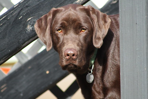 Jackson - chocolate Labrador Retriever