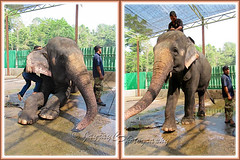 One of its trainer mounting/riding the Asian Elephant (Elephas maximus) at the Kuala Gandah Elephant Conservation Centre