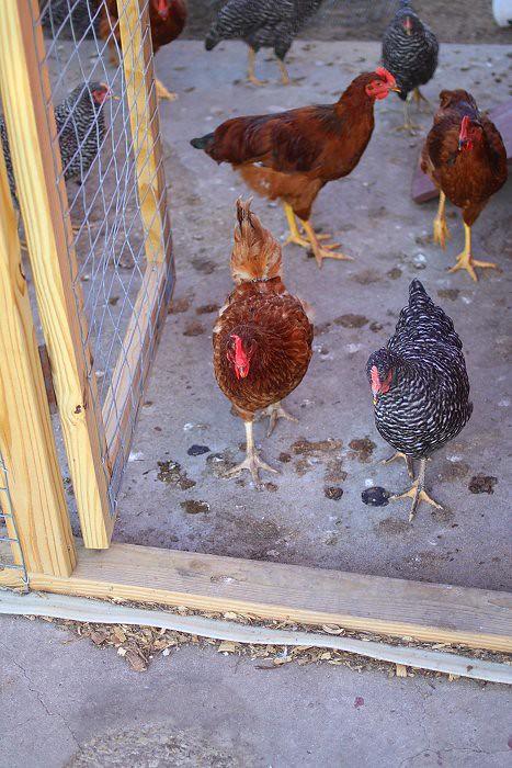 06-29-chickchick1