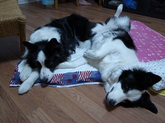 relaxed... too much? (BabyMia.) Tags: cute relax hana bordercollie miku