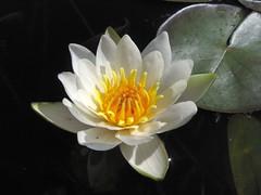 Nymphaea alba. (zxc6789) Tags: white plant flower water finland lily alba aquatic oulu ssp nymphaeaceae lumme lumpeet vesikasvi