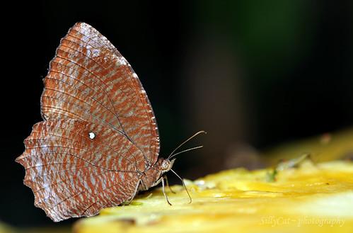 Common Palmfly (Elymnias hypermnestra agina)翠袖鋸眼蝶