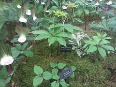 Paris polyphylla appendiculata and Trillium govanianum (Alwyn Ladell) Tags: chelsea flowershow rhs royalhorticulturalsociety royalhospital