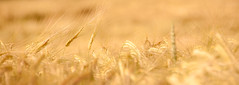 Fields of gold (alexbartok) Tags: sun field golden wheat 18200 potofgold weizen 18200mm weizenfeld geocity exif:iso_speed=200 d300s camera:make=nikoncorporation exif:focal_length=200mm exif:make=nikoncorporation geostate exif:lens=1802000mmf3556 geocountrys camera:model=nikond300s exif:model=nikond300s exif:aperture=56 geo:lat=485810789 geo:lon=104490183