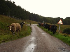 Traffic Jam (plattbridger) Tags: road uk paisajes landscape grid scotland landscapes countryside cow highlands scenery track cattle cows britain scottish paisaje escocia paisagem campagna highland scot single campo paysage landschaft campagne cenrio paysages caledonia paesaggio paisagens caledonian landschaften schottland ardnamurchan ecosse lochaber scozia kilchoan