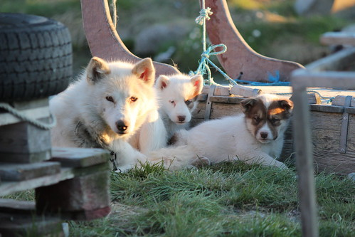 Husky and puppies