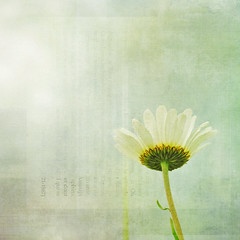 what the daisy said . . . (anniedaisybaby) Tags: white flower nature petals solitude jenny textures daisy hillside magical flypaper betweenrains thanksto top7 trsorsartistiques lesbrumes dreamlandnatura magicunicornverybest magicunicornmasterpiece conversationwithadaisy interiorconversation