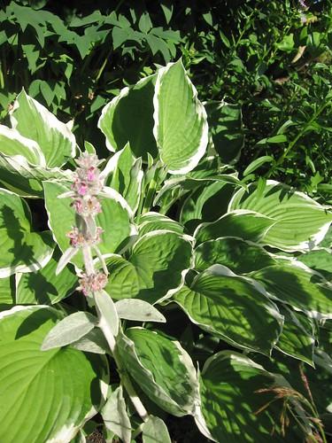Hagen i juli - bladlilje og lammeøre