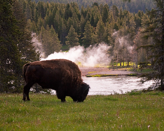 Bison morning