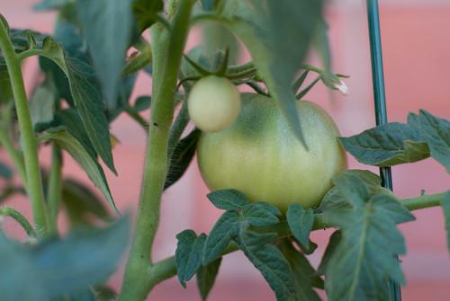 Tomato plant-1