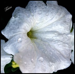 White and Wet. (Patricia Speck) Tags: white black flower home water rain yellow garden droplets framed trumpet petal stamen tricia patricia soggy speck